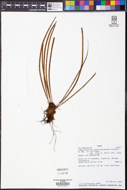Image of Campyloneurum angustipaleatum