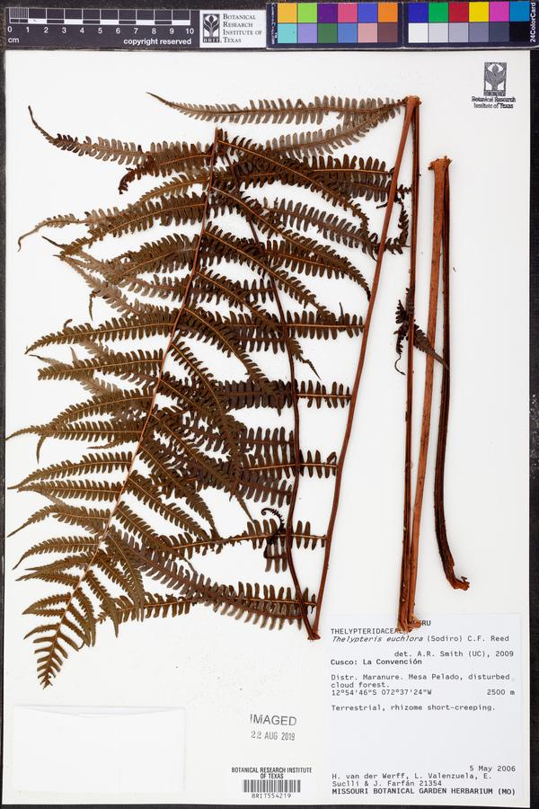 Amauropelta euchlora image