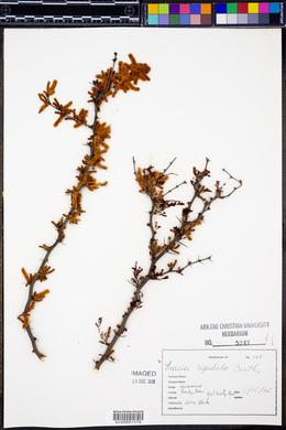 Acacia rigidula image