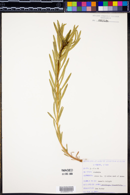 Stillingia linearifolia image