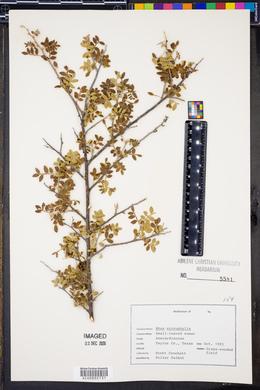 Rhus microphylla image