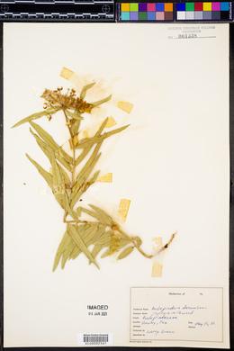 Asclepiodora decumbens image