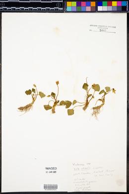 Viola odorata image