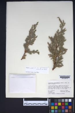 Juniperus procumbens image