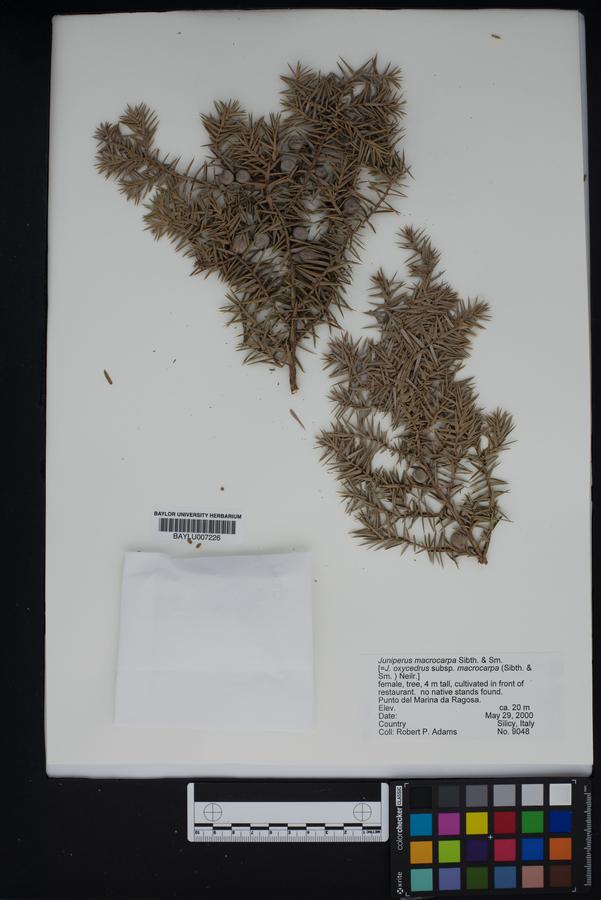 Juniperus oxycedrus subsp. macrocarpa image