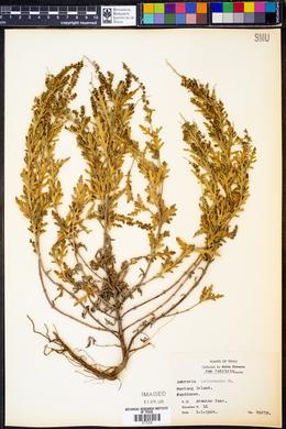 Ambrosia psilostachya image