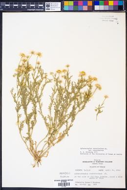 Aphanostephus ramosissimus var. ramosissimus image