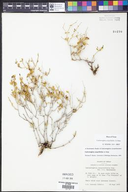 Carlowrightia serpyllifolia image