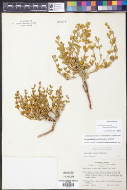 Carlowrightia texana image
