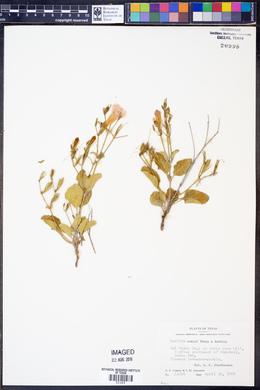 Ruellia corzoi image