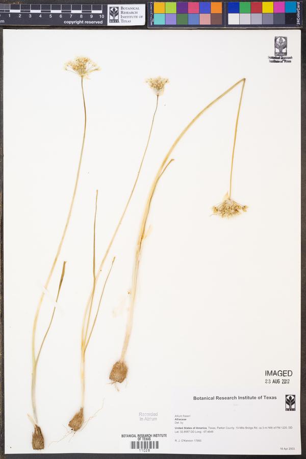 Allium fraseri image