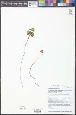 Cyclamen hederifolium image
