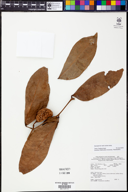 Image of Cynometra ramiflora