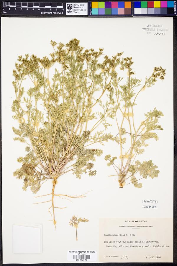 Ammoselinum popei image