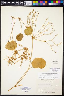 Hydrocotyle bonariensis image