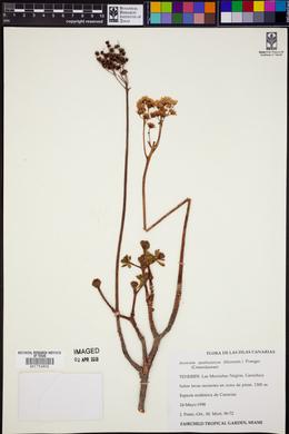 Image of Aeonium spathulatum