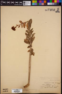 Hylotelephium telephium image