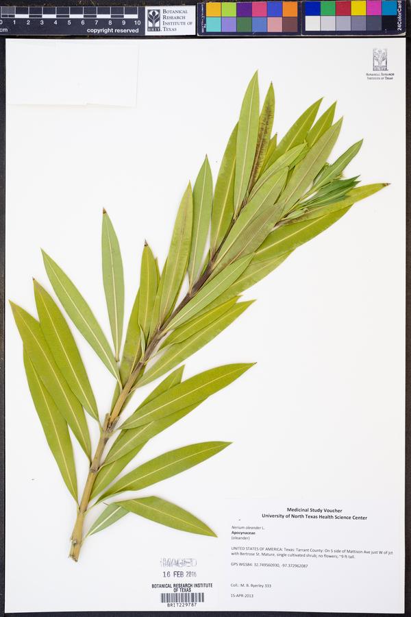 Nerium image