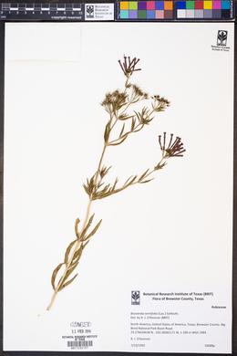 Bouvardia ternifolia image