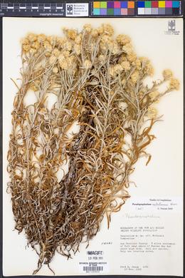Image of Pseudognaphalium austrotexanum