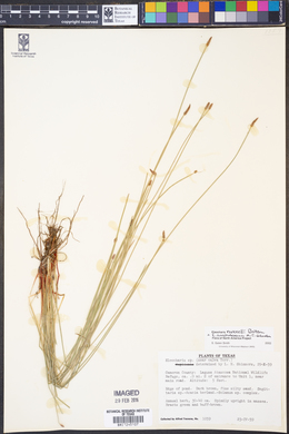 Image of Eleocharis austrotexana