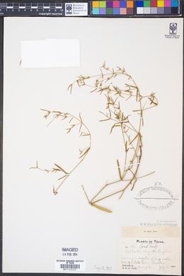Euphorbia angusta image