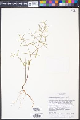Chamaesyce angusta image