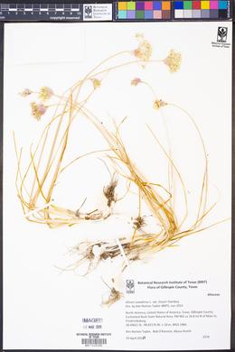 Allium canadense var. fraseri image