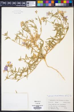 Phlox glabriflora image