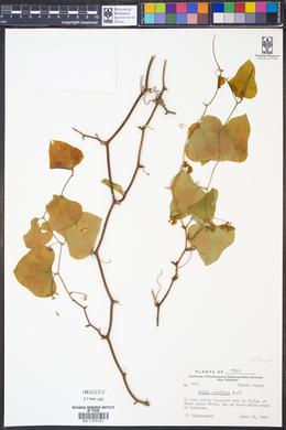 Smilax renifolia image