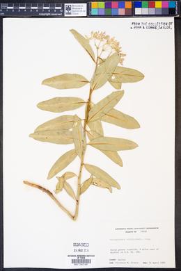 Asclepiodora viridis image