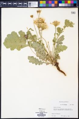 Acourtia runcinata image