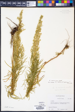 Artemisia ludoviciana var. redolens image