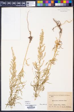Artemisia redolens image