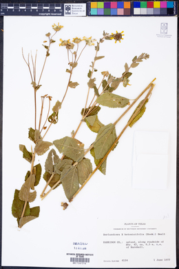 Image of Berlandiera x betonicifolia