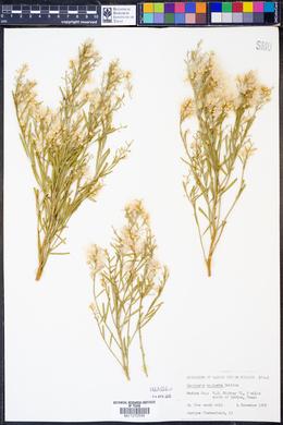 Baccharis neglecta image