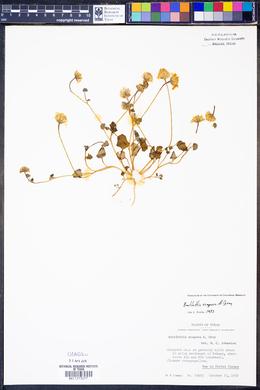 Bartlettia scaposa image
