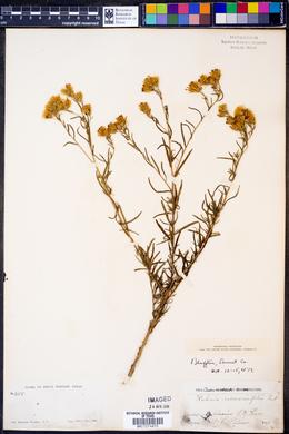 Kuhnia rosmarinifolia image