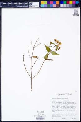 Brickellia cylindracea image