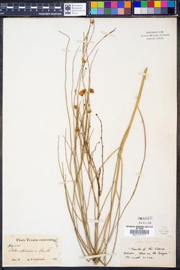 Chloracantha spinosa image