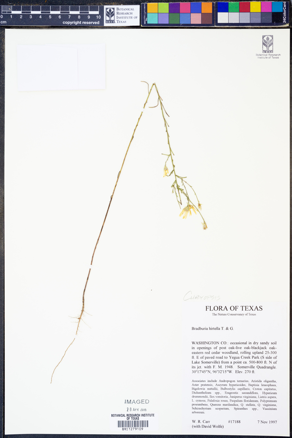 Chrysopsis hirtella image