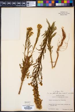 Conyza canadensis var. glabrata image