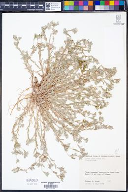 Diaperia prolifera image