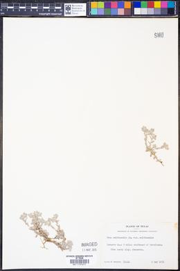 Diaperia verna image