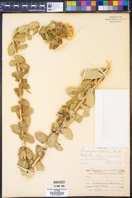 Grindelia ciliatus image