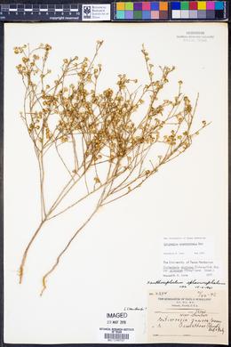 Gutierrezia sphaerocephala image