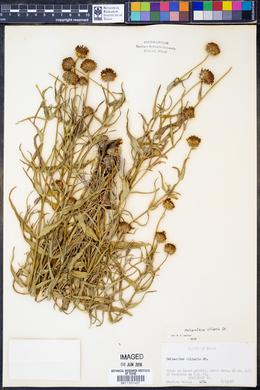 Helianthus ciliaris image