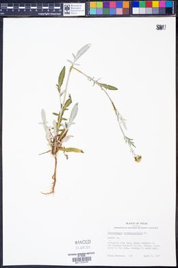 Hymenopappus artemisiaefolius image