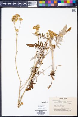 Image of Hymenopappus carolinensis