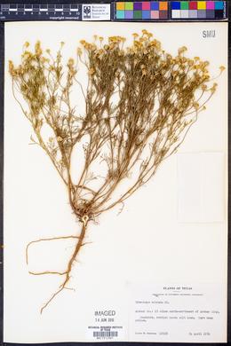 Hymenoxys odorata image